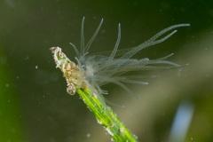 Bunodeopsis strumosa, un apetita anémona