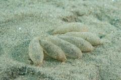 Ous de calamar llistat (Loligo forbesii)