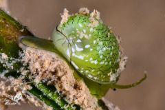 La Nerita maragda, Smaragdia viridis.